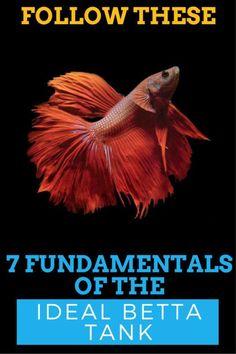 "7 Fundamentals of the Ideal Betta Fish Tank - TFCG - Fundamentals of the Ideal Betta Fish Tank"" Jack Dempsey 2016 - Betta Aquarium, Freshwater Aquarium Fish, Aquarium Sharks, Aquarium Setup, Fish Aquariums, Aquarium Design, Pretty Fish, Beautiful Fish, Betta Fish Tank"