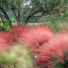 Pink Muhly Grass - (Muhlenbergia capillaris) As summer is winding down Pink Muhly Grass is springing up. Give it plenty of sunshine and good soil drainage. Withstands heat, humidity, drought, and poor soil! Landscaping Plants, Front Yard Landscaping, Landscaping Ideas, Backyard Patio, Grass For Sale, Landscape Design, Garden Design, Landscape Grasses, Ornamental Grasses