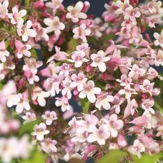 Fagerbusk Høyde 50 cm Rosa | Plantasjen