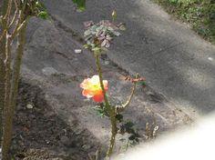 Ce+qui+reste+du+jardin+:+Mes+parents+auront+passé+je+crois+sur+les+plantes+toute+la+rage+de+leur+vie+gâchée+:+l'un+les+attachait+toutes+et+que+ça+faisait+mal+à+voir,+l'autre+fait+tout+arracher+sans+même+plus+de+prétexte.+Ne+survivent+que+les+roses+et+pour+l'instant+trois+arbres+(dont+le+coût+d'enlèvement+serait+trop+élevé+?).  Je+commence+à+comprendre+pourquoi+chez+moi+il+n'y+a+pas+une...