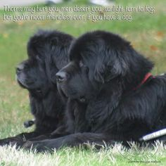 oh sweet newfoundlands! how I miss tilly #largestdogs #largedogs #bigdogs #animals #dogs