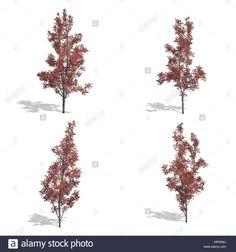 hegyi juhar őszi fák, elszigetelt fehér háttérrel.  Stock fotó