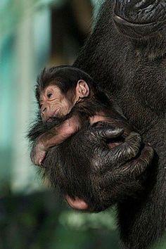 Gorilla mom taking care of her baby!!