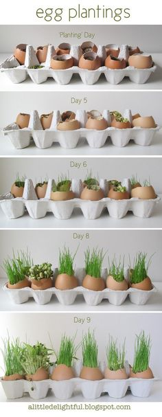 grass eggs for easter - but use white & brown shells and then set out to decorate! grass eggs for easter - but use white & brown shells and then set out to decorate! Vegetable Garden, Garden Plants, Indoor Plants, House Plants, Horticulture, Planting For Kids, Grass Seed, Edible Garden, Egg Shells