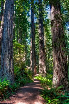 redwood-forest-path-L. Forest Path, Redwood Forest, Rain Photography, Wild Nature, Animals Of The World, Nature Pictures, Pathways, Nice View, Beautiful Landscapes