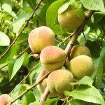 Kedy strihať broskyne Fruit, Garden, Garten, Gardens, Tuin