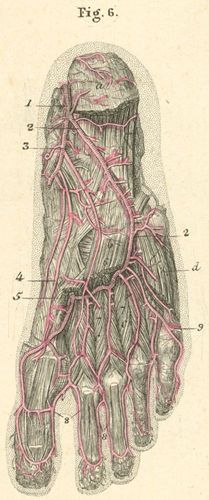 arteries of the foot