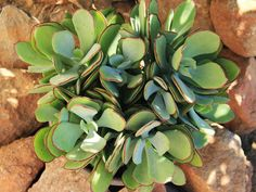 Cotyledon 'Mint Truffles' is a low-growing, hybrid succulent that spreads laterally while maintaining a compact growth habit. It is adept. Cacti And Succulents, Planting Succulents, Cactus Plants, Air Plants, Indoor Plants, Leaf Outline, Plant Information, Succulent Care, Desert Plants