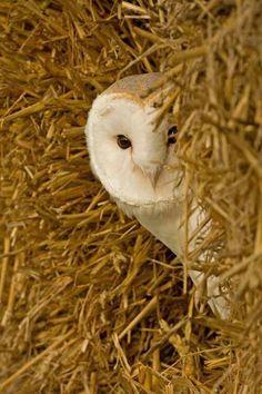 Barn Owl ....