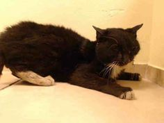 TO BE DESTROYED 1/27/14-- SENIOR ALERT!!!  FIV+ Brooklyn Center My name is DOMO. My Animal ID # is A0990135. I am a male black and white domestic sh mix. The shelter thinks I am about 10 YEARS old. I came in the shelter as a STRAY on 01/22/2014 from NY 11212, owner surrender reason stated was STRAY. https://www.facebook.com/photo.php?fbid=737055722972929&set=a.576546742357162.1073741827.155925874419253&type=1&ref=nf