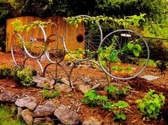 Repurposed bike wheels reclaimed from a dump on Orcas Island, riveted together then buried a few inches in a newly terraced garden. Surrounded by rocks, framed by lavender and dwarf blueberries and some strawberry plants to help control erosion. Four varieties of apples on one espaliered trunk are lightly wired to the wheels to be trained to grow in a delicious semi-circular formation.
