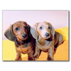 Dachsund Puppies Post Card