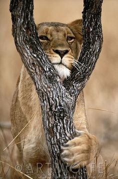 ♔ ~~Lion, Kruger National Park, South Africa   Art Wolfe Stock Photography~~