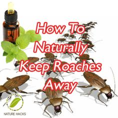 Many bugs find the scent of essential oils repellant. Roaches are no exception. You can create your own homemade roach spray using completely non-toxic essential oils. The most effective oils at repelling roaches are cypress oil and peppermint oil. To make a non-toxic roach spray, mix 8 drops of cypress oil and 10 drops of peppermint oil to half a cup of water. Spray the mixture anywhere you have roach issues. The added benefit is that these oils smell