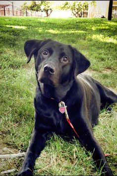Black Labrador Retriever: Millie
