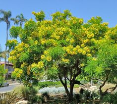 "Cassia leptophylla ""Gold Medallion Tree"""