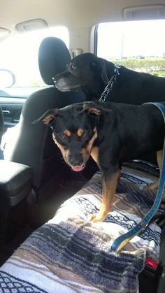 Lab and rottie on ground journey from FL to ca