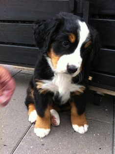 Meet Malou, The newest Bernese Mountain Dog puppy of the family #BerneseMountainDog