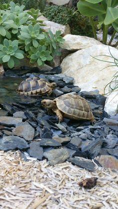 Nos tortues Box turtles Tortue herman Tortue hermann Tortoise Terrarium, Turtle Terrarium, Tortoise Cage, Tortoise House, Tortoise Habitat, Tortoise Food, Turtle Habitat, Baby Tortoise, Sulcata Tortoise