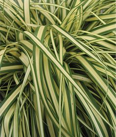 "Carex, Evergold  Growing to 18"" tall, the plants' tidy mounding habit make them good options for containers, small spaces and rock gardens.  lifecycle: Perennial   Zone: 5-8   Height: 10-18  inches  Spread: 24  inches"