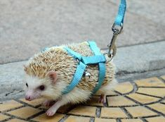 How did they put this leash on without being stabbed to smithereens?