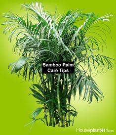 Bamboo Palm - How to Grow Care Guide - Chamaedorea