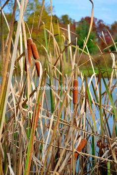 Cat Tails in Fall  www.LizotteStudios.com