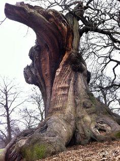 An amazing ancient Sweet Chestnut. Courtesy of Stuart Witt
