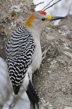 The Golden-fronted Woodpecker is found in the US only in the brushlands and open woodlands of Texas and southwestern Oklahoma.