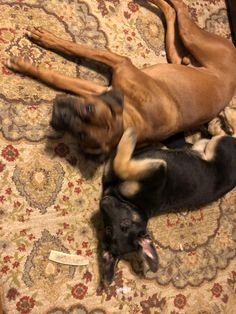 My GFs new GSD(Ava) and Boxer(Matty) are already best friends