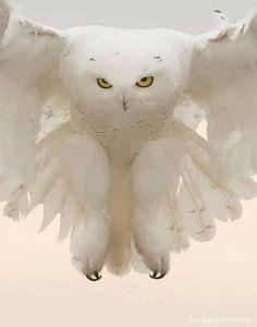 beyaz baykuş-white owl