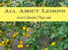 All About Lemons {Freezing}