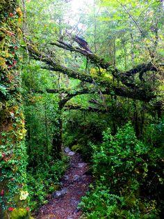 Sendero del Bosque Encantado, Parque Nacional Queulat Patagonia, Sur Chile, Forest Trail, Greenery, Maine, Places To Go, Flora, Country Roads, Landscape
