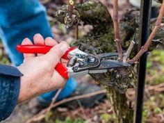 Winogrona: cięcie winorośli. Kiedy i jak ciąć winogrona (winorośl) w ogrodzie Summer House Garden, Home And Garden, Vitis Vinifera, Pruning Shears, Grape Vines, Outdoor Gardens, Garden Tools, Gardening, Sad