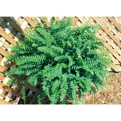 1.5-Gallon Boston Fern (L6751)