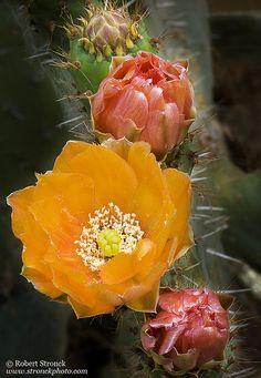 ✯ Cactus Flowers