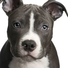 Uplifting So You Want A American Pit Bull Terrier Ideas. Fabulous So You Want A American Pit Bull Terrier Ideas. Pitbull Terrier, Bull Terriers, Rat Terrier Dogs, Terrier Mix, Amstaff Puppy, Staffordshire Terriers, American Staffordshire, American Pitbull, Pit Bull Love