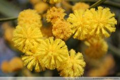 Sarı; mutluluk veren, yaz mevsimini anımsatan, insanlar üzerinde pozitif etkisi olan, varlığı, yaşamı, zekayı simgeleyen güneşin rengi... 300 farklı çeşidi bulunuyor Mimozaların. Datça'daki Mimozalar ise genellikle sarı renkte. Ana vatanı Avustralya olan Mimoza İspanya ve İtalya'da da oldukça yaygın. Güney İtalya'da mimozaların çiçek açtığı günler festivallerle kutlanıyor. Hatta İtalya'da 8 Mart Dünya Emekçi Kadınlar Günü Mimosaların açtığı zamana denk geldiği için erkekler kadınlara hediye…