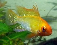 Golden Ram.  This was the first of the variant color strains of the original ram.  Rams are great aquarium fish, preferring 82-85ºF, soft-moderately hard water for best results.  Good community fish.