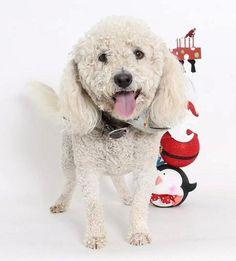 Meet Beau, a Petfinder adoptable Bichon Frise Dog | Tacoma, WA | Please understand that we are an ALL volunteer team of foster homes all across the state.  We do...