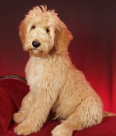A goldendoodle! I want one!