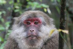 RN3A3895 Tibetan macaque