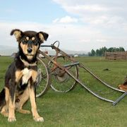 Dogs are naturally energetic and strong animals. People have been harnessing these attributes for centuries and employing dogs to pull simple dogcarts carrying various items, or even people occasionally. You can build one of these dogcarts that is perfectly sized for your dog's weight and height. The cart is then attached to your dog via a harness...