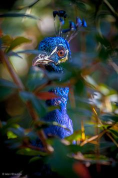Peacock Peeping Tom by alan shapiro