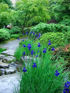 blue irises & stream  ~~ the irises are one of my favorites ~~
