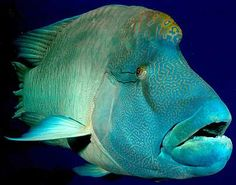 napoleon wrasse ~ one of my favorite fish ~ at 60 lbs they are curious gentle giants