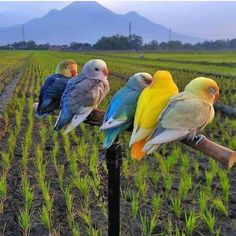 Md shohag hossain: You can see there are five left here and 5 birds pass to see [& Diy Parakeet Cage, Parakeet Care, Love Birds, Beautiful Birds, Animals Beautiful, Parakeet Colors, Animals And Pets, Cute Animals, Fish Cat Toy