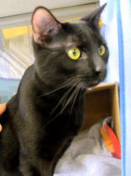 Adopt Belafonte @Feline Rescue, St Paul MN. He is a young panther lad, super affectionate and longing for his forever home.