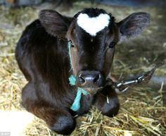 'Heart' the baby ox  Born just in time for Valentine's Day!