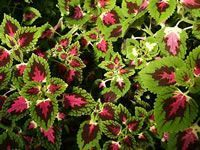 Coleus care. To keep it perennial, take a cutting indoors over winter.